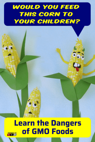 3 Ears of Corn in field and 1 is GMO Altered
